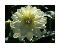 About Premium Dahlias