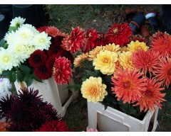 Dahlias for Cut Flower Masterclass -  4th September at 3:00 pm